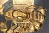http://mczbase.mcz.harvard.edu/specimen_images/entomology/large/MCZ-ENT00021580_Camponotus_macilentus_var_duncanensis_had.jpg