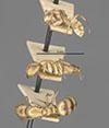 http://mczbase.mcz.harvard.edu/specimen_images/entomology/large/MCZ-ENT00021580_Camponotus_macilentus_var_duncanensis_hala.jpg