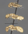 http://mczbase.mcz.harvard.edu/specimen_images/entomology/large/MCZ-ENT00021581_Camponotus_macilentus_var_hoodensis_hala.jpg