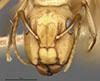 http://mczbase.mcz.harvard.edu/specimen_images/entomology/large/MCZ-ENT00021581_Camponotus_macilentus_var_hoodensis_hef.jpg
