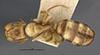 http://mczbase.mcz.harvard.edu/specimen_images/entomology/large/MCZ-ENT00021582_Camponotus_macilentus_var_jacobensis_had.jpg
