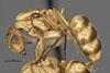 http://mczbase.mcz.harvard.edu/specimen_images/entomology/large/MCZ-ENT00021583_Camponotus_macilentus_var_pervicus_hal.jpg