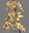 http://mczbase.mcz.harvard.edu/specimen_images/entomology/large/MCZ-ENT00021583_Camponotus_macilentus_var_pervicus_hala.jpg