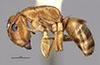 http://mczbase.mcz.harvard.edu/specimen_images/entomology/large/MCZ-ENT00021585_Camponotus_macilentus_var_vulcanalis_hal.jpg