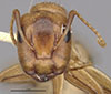 http://mczbase.mcz.harvard.edu/specimen_images/entomology/large/MCZ-ENT00021585_Camponotus_macilentus_var_vulcanalis_hef.jpg
