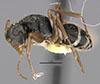 http://mczbase.mcz.harvard.edu/specimen_images/entomology/large/MCZ-ENT00021590_Camponotus_linnaei_comoedus_hal.jpg
