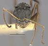 http://mczbase.mcz.harvard.edu/specimen_images/entomology/large/MCZ-ENT00021590_Camponotus_linnaei_comoedus_hef.jpg