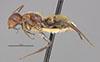 http://mczbase.mcz.harvard.edu/specimen_images/entomology/large/MCZ-ENT00021593_Camponotus_auricomus_var_lucianus_halb.jpg