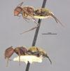 http://mczbase.mcz.harvard.edu/specimen_images/entomology/large/MCZ-ENT00021593_Camponotus_auricomus_var_lucianus_halc.jpg