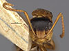http://mczbase.mcz.harvard.edu/specimen_images/entomology/large/MCZ-ENT00021594_Camponotus_beebei_hefa.jpg