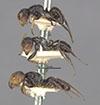 http://mczbase.mcz.harvard.edu/specimen_images/entomology/large/MCZ-ENT00021596_Camponotus_brevis_halc.jpg
