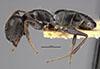 http://mczbase.mcz.harvard.edu/specimen_images/entomology/large/MCZ-ENT00021600_Camponotus_phytophilus_hal.jpg