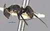 http://mczbase.mcz.harvard.edu/specimen_images/entomology/large/MCZ-ENT00021603_Camponotus_vezenyii_hal.jpg