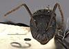 http://mczbase.mcz.harvard.edu/specimen_images/entomology/large/MCZ-ENT00021603_Camponotus_vezenyii_hef.jpg