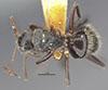http://mczbase.mcz.harvard.edu/specimen_images/entomology/large/MCZ-ENT00021604_Camponotus_burtoni_hada.jpg