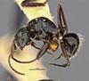 http://mczbase.mcz.harvard.edu/specimen_images/entomology/large/MCZ-ENT00021604_Camponotus_burtoni_halb.jpg