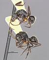 http://mczbase.mcz.harvard.edu/specimen_images/entomology/large/MCZ-ENT00021604_Camponotus_burtoni_halc.jpg