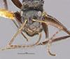 http://mczbase.mcz.harvard.edu/specimen_images/entomology/large/MCZ-ENT00021604_Camponotus_burtoni_hefa.jpg