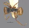 http://mczbase.mcz.harvard.edu/specimen_images/entomology/large/MCZ-ENT00021605_Camponotus_callistus_bradleyi_had.jpg