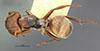 http://mczbase.mcz.harvard.edu/specimen_images/entomology/large/MCZ-ENT00021607_Camponotus_mucronatus_formaster_had.jpg