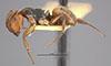 http://mczbase.mcz.harvard.edu/specimen_images/entomology/large/MCZ-ENT00021607_Camponotus_mucronatus_formaster_hal.jpg