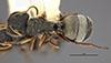 http://mczbase.mcz.harvard.edu/specimen_images/entomology/large/MCZ-ENT00021608_Camponotus_mucronatus_hirsutinasus_had.jpg