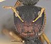 http://mczbase.mcz.harvard.edu/specimen_images/entomology/large/MCZ-ENT00021608_Camponotus_mucronatus_hirsutinasus_hef.jpg