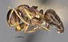 http://mczbase.mcz.harvard.edu/specimen_images/entomology/large/MCZ-ENT00021609_Camponotus_corniculatus_hal.jpg