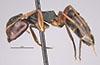http://mczbase.mcz.harvard.edu/specimen_images/entomology/large/MCZ-ENT00021610_Camponotus_planus_var_fernandinensis_hal.jpg
