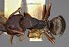 http://mczbase.mcz.harvard.edu/specimen_images/entomology/large/MCZ-ENT00021611_Camponotus_planus_var_fidelis_had.jpg
