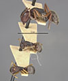 http://mczbase.mcz.harvard.edu/specimen_images/entomology/large/MCZ-ENT00021611_Camponotus_planus_var_fidelis_hala.jpg