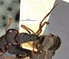 http://mczbase.mcz.harvard.edu/specimen_images/entomology/large/MCZ-ENT00021614_Camponotus_planus_var_isabelensis_had.jpg