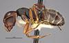 http://mczbase.mcz.harvard.edu/specimen_images/entomology/large/MCZ-ENT00021615_Camponotus_planus_var_pinzonensis_hal.jpg