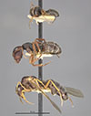 http://mczbase.mcz.harvard.edu/specimen_images/entomology/large/MCZ-ENT00021615_Camponotus_planus_var_pinzonensis_hala.jpg
