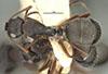 http://mczbase.mcz.harvard.edu/specimen_images/entomology/large/MCZ-ENT00021616_Camponotus_planus_var_sansalvadorensis_had.jpg