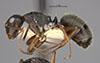 http://mczbase.mcz.harvard.edu/specimen_images/entomology/large/MCZ-ENT00021616_Camponotus_planus_var_sansalvadorensis_hal.jpg