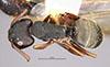 http://mczbase.mcz.harvard.edu/specimen_images/entomology/large/MCZ-ENT00021617_Camponotus_planus_var_santacruzensis_had.jpg