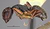http://mczbase.mcz.harvard.edu/specimen_images/entomology/large/MCZ-ENT00021617_Camponotus_planus_var_santacruzensis_hal.jpg