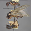 http://mczbase.mcz.harvard.edu/specimen_images/entomology/large/MCZ-ENT00021617_Camponotus_planus_var_santacruzensis_hala.jpg