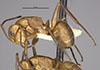 http://mczbase.mcz.harvard.edu/specimen_images/entomology/large/MCZ-ENT00021618_Camponotus_rectangularis_var_sordidatus_hal.jpg