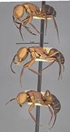 http://mczbase.mcz.harvard.edu/specimen_images/entomology/large/MCZ-ENT00021619_Camponotus_rectangularis_var_aulicus_hala.jpg