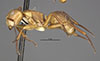 http://mczbase.mcz.harvard.edu/specimen_images/entomology/large/MCZ-ENT00021620_Camponotus_rectangularis_setipes_var_ligatus_halb.jpg