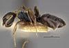 http://mczbase.mcz.harvard.edu/specimen_images/entomology/large/MCZ-ENT00021621_Camponotus_quadrilaterus_var_hondurianus_hal.jpg