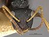 http://mczbase.mcz.harvard.edu/specimen_images/entomology/large/MCZ-ENT00021621_Camponotus_quadrilaterus_var_hondurianus_hef.jpg