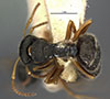 http://mczbase.mcz.harvard.edu/specimen_images/entomology/large/MCZ-ENT00021622_Camponotus_sanctaefidei_convexinodis_had.jpg