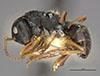 http://mczbase.mcz.harvard.edu/specimen_images/entomology/large/MCZ-ENT00021622_Camponotus_sanctaefidei_convexinodis_hal.jpg