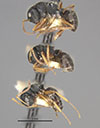 http://mczbase.mcz.harvard.edu/specimen_images/entomology/large/MCZ-ENT00021622_Camponotus_sanctaefidei_convexinodis_hala.jpg
