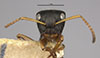 http://mczbase.mcz.harvard.edu/specimen_images/entomology/large/MCZ-ENT00021622_Camponotus_sanctaefidei_convexinodis_hef.jpg
