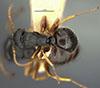 http://mczbase.mcz.harvard.edu/specimen_images/entomology/large/MCZ-ENT00021623_Camponotus_sanctaefidei_convexinodis_var_transilis_had.jpg