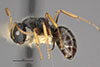 http://mczbase.mcz.harvard.edu/specimen_images/entomology/large/MCZ-ENT00021623_Camponotus_sanctaefidei_convexinodis_var_transilis_hal.jpg